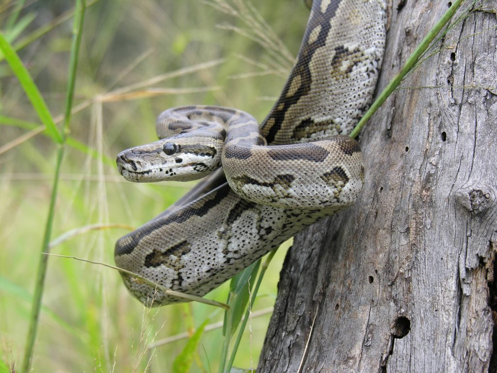 southern-african-python-1024x768